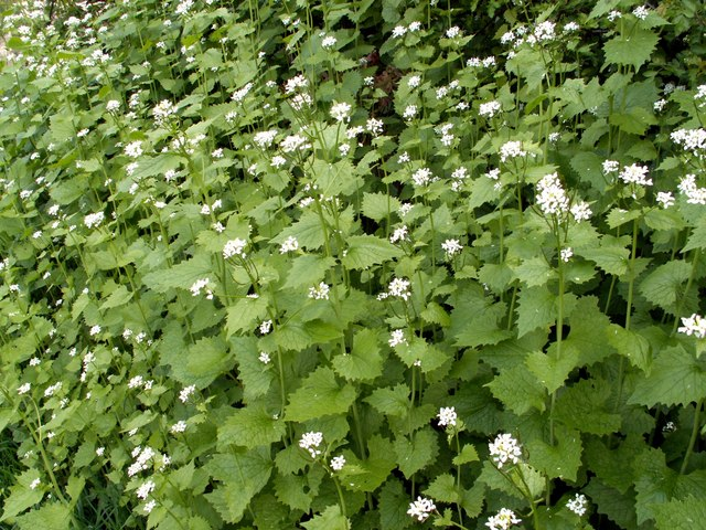 Garlic mustard blossoms