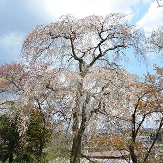 磯部稲荷神社の桜