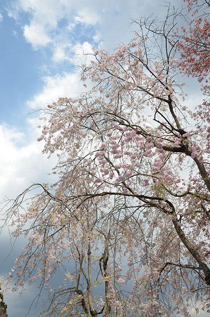 磯部桜川公園の桜