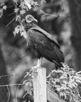 2020-vulture-03-WEB