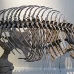 Turtle Skeleton, Hunterian Museum, Glasgow