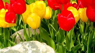 mt-laurel-tulips-photos-0765