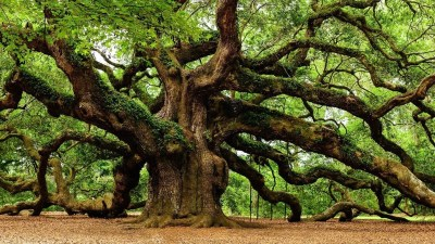angel-oak-trees-photos-fine-art-america