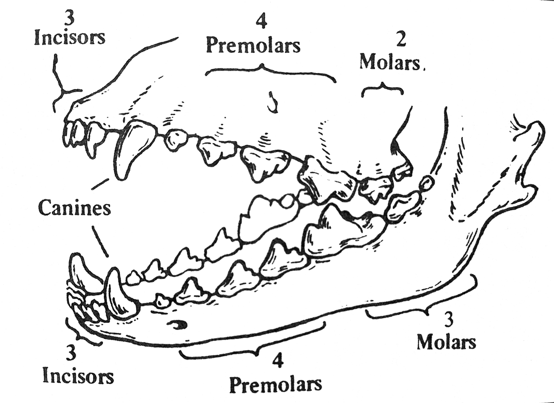 Chihuahua Tooth Diagram