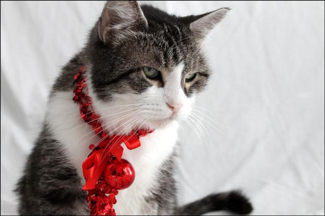 eddie-christmas-cat-11