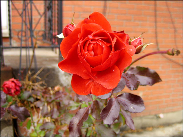 rare-rose-blooming-late-dec