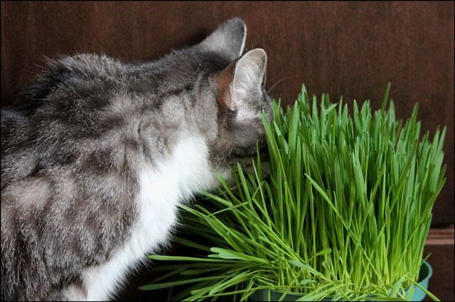 ed-eating-catgrass-2