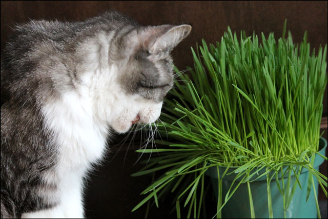 ed-eating-catgrass