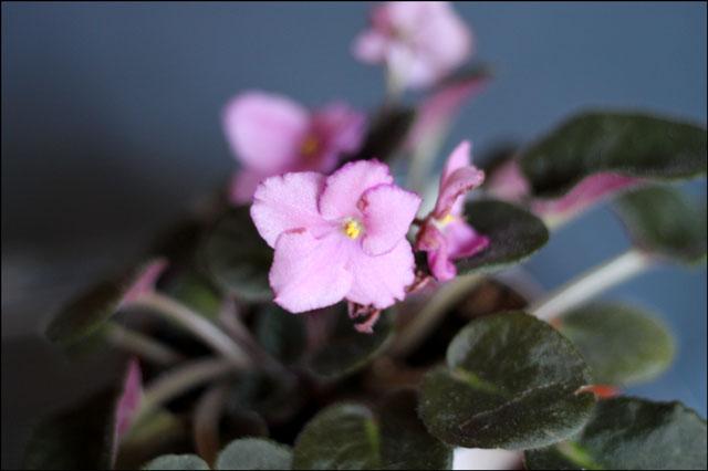 pink-african-violet