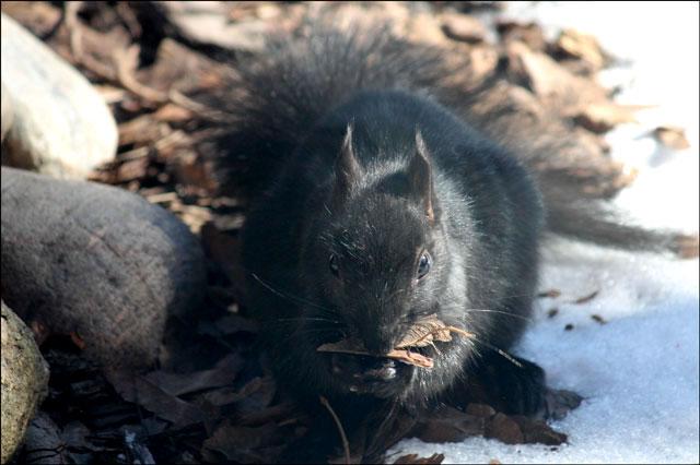 squirrel-eating-maple-key