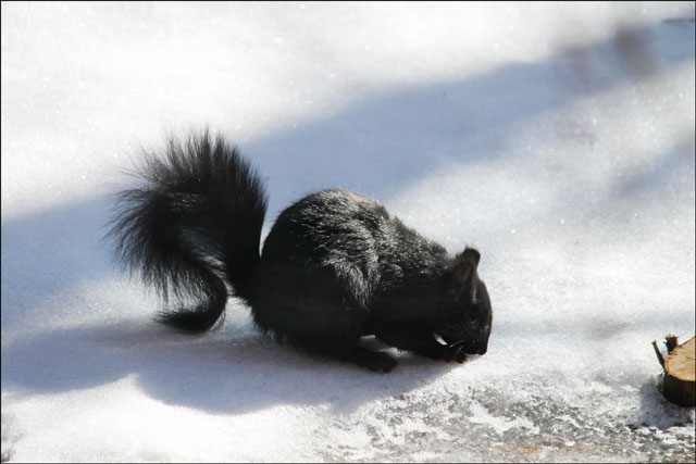 squirrel-on-snow