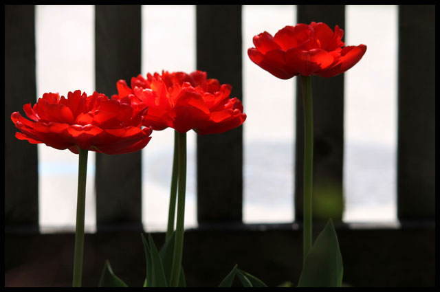 3-red-tulips