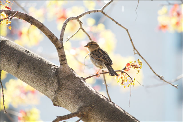 sparrow-in-maple-tree-07