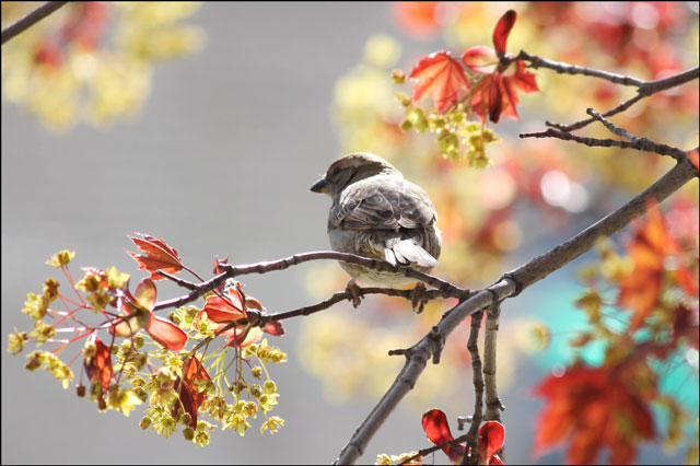 sparrow-in-maple-tree-sprin