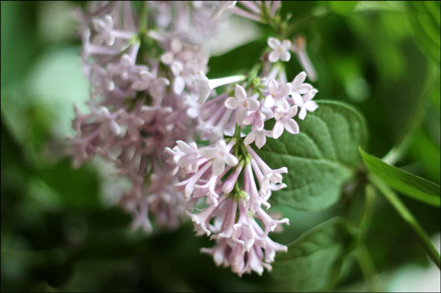 lilac-flowers-2