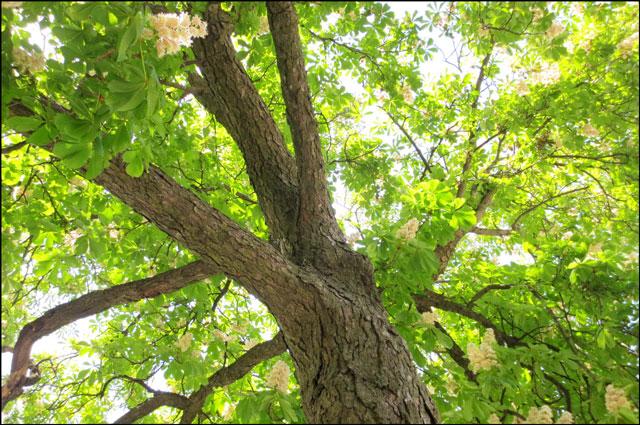 under-a-chestnut-tree