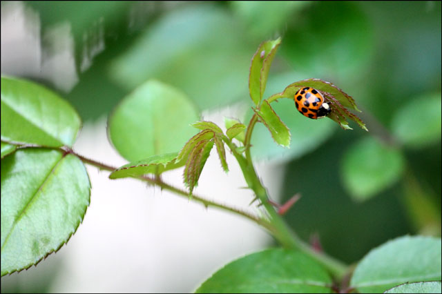 lady-bug-on-rose-bush