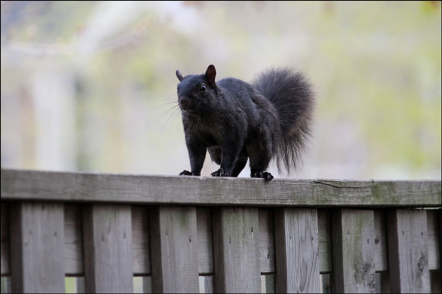 squirrel-on-fence