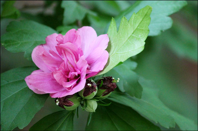 hibiscus-in-toronto
