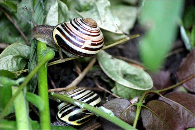 snails-in-toronto-garden