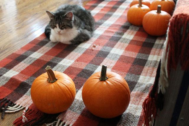 cat-and-pumpkins