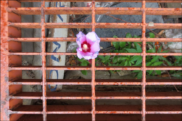 hibiscus-in-a-grate