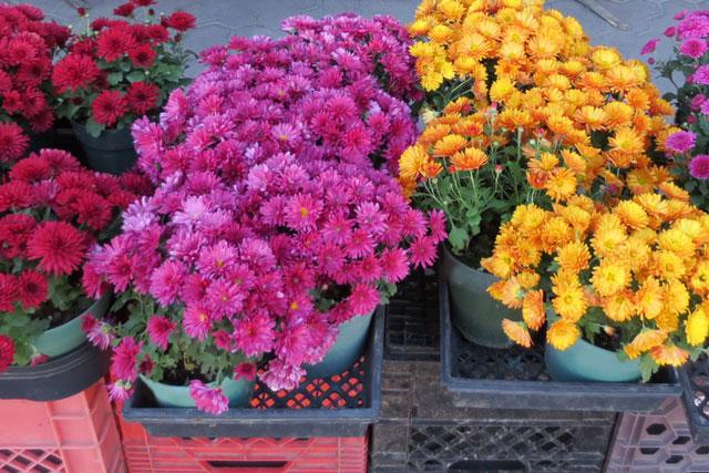 mums-at-garden-center