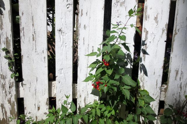 nightshade-berries