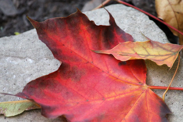 red-fall-leaf