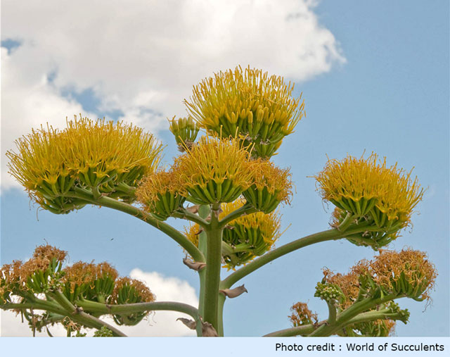 world-of-succulents-photo-of-agave-americano-flower
