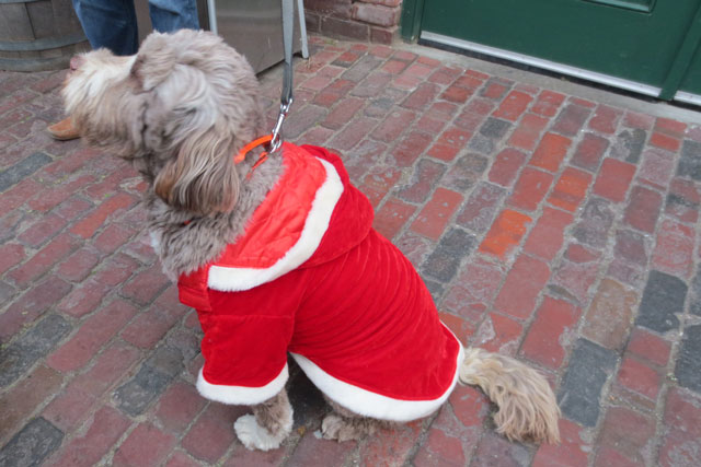 portuguese-water-dog-in-christmas-coat