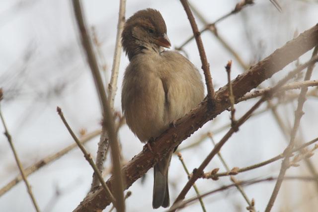 preening-sparrow