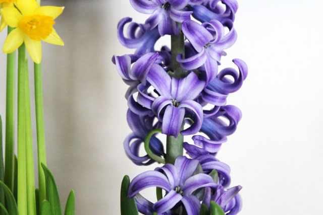 hyacynth-bulb-indoors