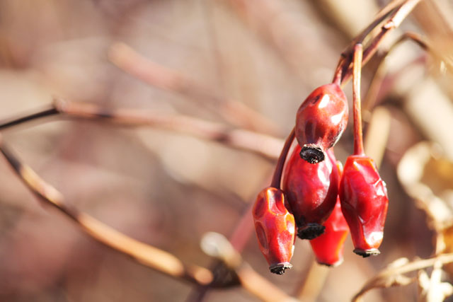 rosehips-from-last-fall