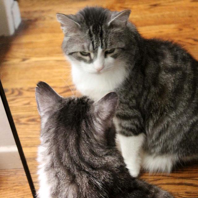 cat-in-a-mirror-5