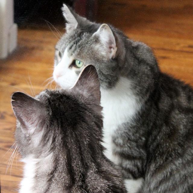cat-in-a-mirror-7