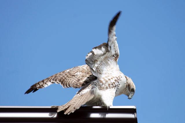 hawk-toronto-may-2014