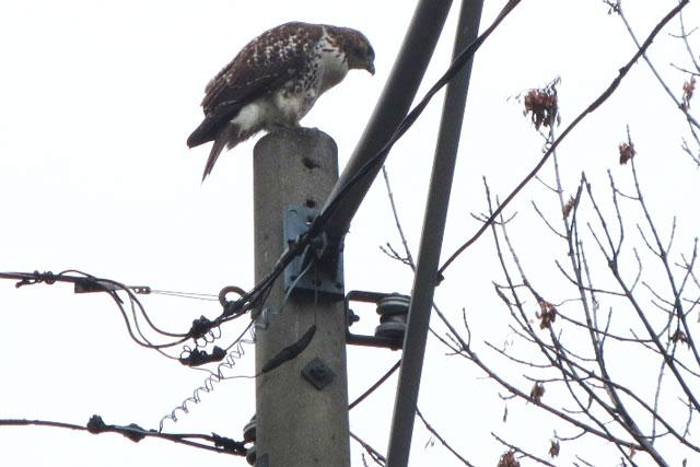 hawk-toronto-spring-2014