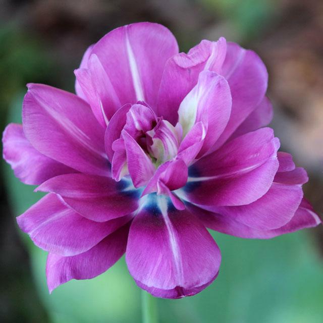purple-double-tulip
