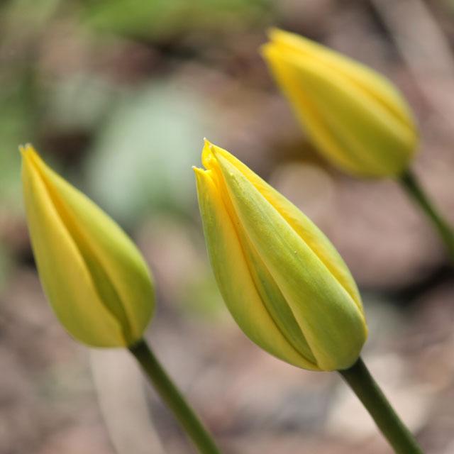 yellow-tulip-buds