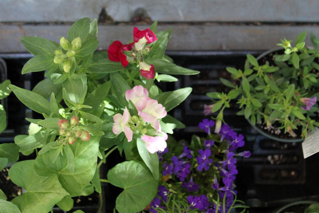 flowers-for-deck-and-garden-02
