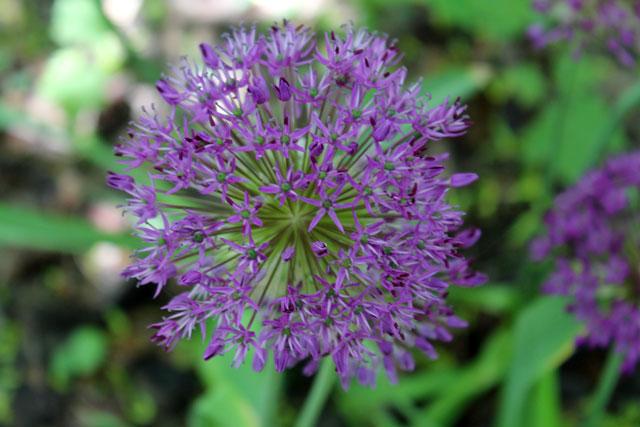 allium-flower-in-bloom