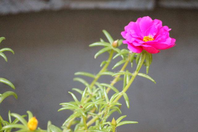 moss-rose-or-Portulaca-grandiflora