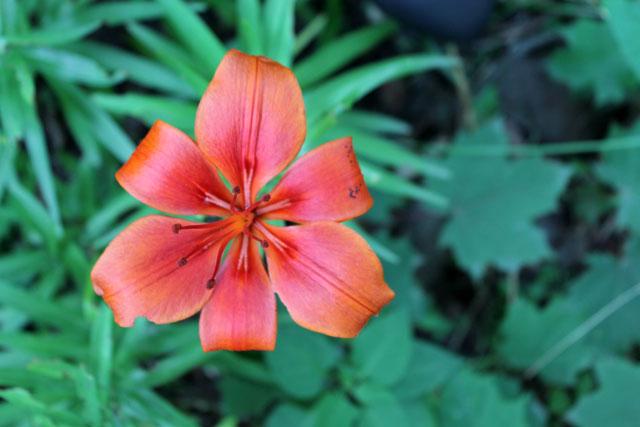 orange-lily