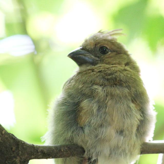 baby-cardinal-bird-close-up
