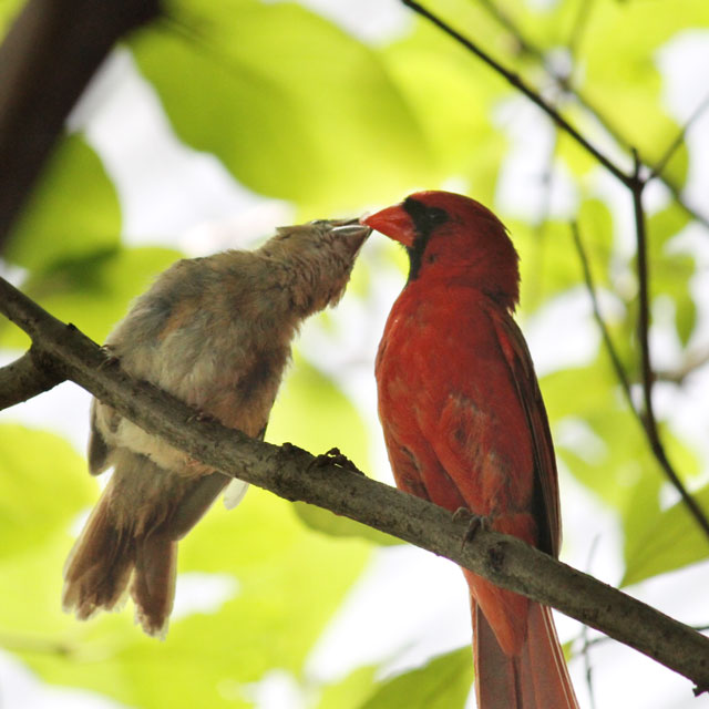 male-cardinal-feeding-baby