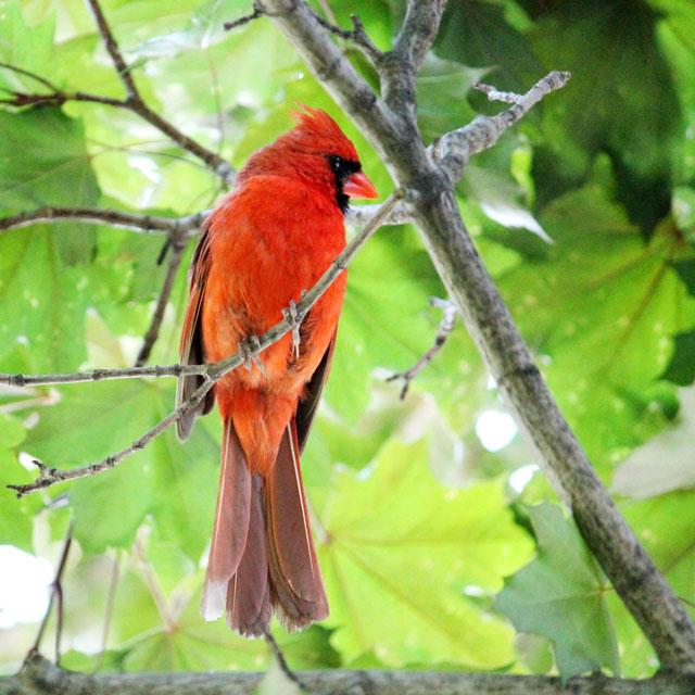 male-cardinal-toronto-2014-02