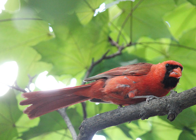 male-cardinal-with-food-for-baby