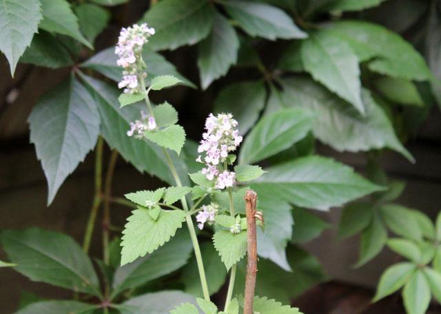 catnip-plant-flowers