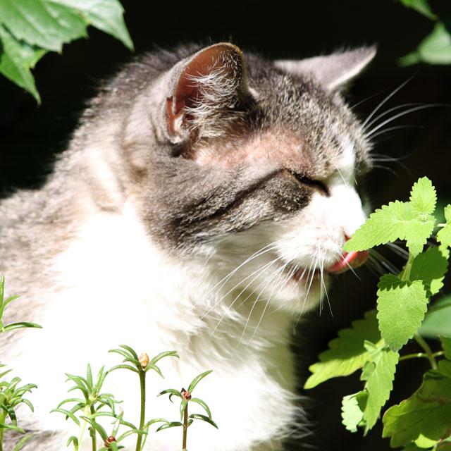 ed-eating-catnip-plant